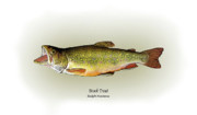 Print Drawings Framed Prints - Brook Trout Framed Print by Ralph Martens