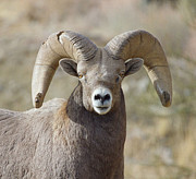 Pictures Photo Originals - Broomed Ram by Brent Easley
