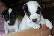 Black And White Jack Russell Terrier Puppies Photos - Brother and Sister  by Linda Parker
