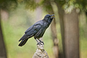 American Crow Photos - Brother Crow on St. Francis Head by Bonnie Barry