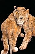 African Cat Prints - Brotherly Love Print by Michael Durst
