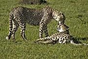 Cheetah Photos - Brotherly Love by Michele Burgess