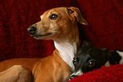 Help Support Animal Rescue - Brothers Italian Greyhounds by Angela Rath
