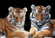 Tiger Cub Posters - Brothers Poster by Julie L Hoddinott