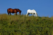Paddocks Prints - Brown and white horse grazing together in a grassy field Print by Sami Sarkis