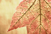 Red Leaf Prints - Brown Autumn Print by Carol Leigh