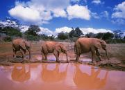 Pond Photography Photos - Brown Baby Elephants Walking By Pond by Axiom Photographic