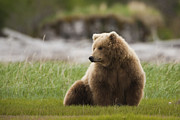 Katmai National Park Prints - Brown Bear, Katmai National Park, Alaska, Usa Print by Mint Images/ Art Wolfe