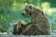 Roosting And Resting Prints - Brown Bear Mother And Cubs Resting Print by Klaus Nigge
