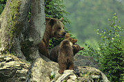 Refuges Photos - Brown Bear With Cubs, Bayerischer Wald by Norbert Rosing