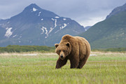 Physical Body Art - Brown Bears, Katmai National Park, Alaska, Usa by Mint Images/ Art Wolfe