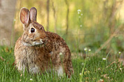 Brown Bunny Print by Denise Pohl