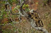 Brown Capuchin Cebus Apella Three Print by Pete Oxford
