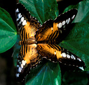 Brown Clipper Butterflies Mating Print by Terry Elniski