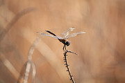 Dragonflies Art - Brown Dragonfly and Brown Reeds by Carol Groenen