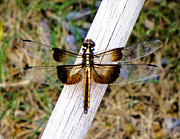 Yellow And Brown Posters - Brown Dragonfly Poster by Tony Grider