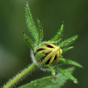Golden Brown Prints - Brown Eyed Susan Bud Print by Michael Peychich