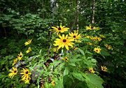 Camelot Prints - Brown-eyed Susan in the woods Print by Gary Eason