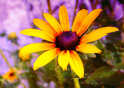 Brown-eyed Susan Print by Judi Bagwell