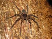 Preditor Photos - Brown Fishing Spider by Joshua Bales