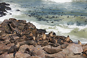 Fur Seal Framed Prints - Brown Fur Seal, Cape Cross Framed Print by Juergen Ritterbach