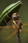 Dragonfly Framed Prints - Brown Hawker Dragonfly Framed Print by Andy Astbury