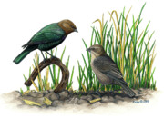 Cowbird Posters - Brown-headed Cowbird Poster by Kalen Malueg