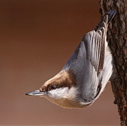 Travis Truelove Photography Posters - Brown-headed Nuthatch - Little Nutty Poster by Travis Truelove