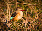 Kingfisher Prints - BROWN-HOODED KINGFISHER South African kingfisher Print by Andy Smy