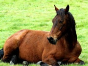 Brown Horse At Rest . R5906 Print by Wingsdomain Art and Photography
