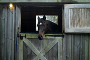 Horse Barn Photos - Brown Horse In A Barn by Todd Gipstein