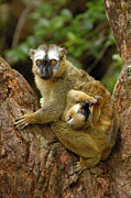 Lemuridae Prints - Brown Lemur Lemur Fulvus Female Print by Pete Oxford