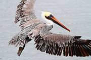 Brown Pelican . 7d8234 Print by Wingsdomain Art and Photography