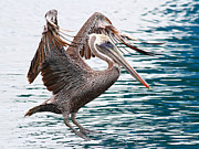 Brown Pelican . 7d8253 Print by Wingsdomain Art and Photography