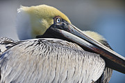 Large Eye Framed Prints - Brown Pelican Framed Print by Adam Romanowicz