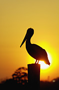 Orange County North Carolina Framed Prints - Brown Pelican and Sunset - D006748 Framed Print by Daniel Dempster