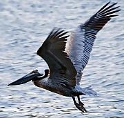 Lakes Digital Art - Brown Pelican away by Robert OP Parrish