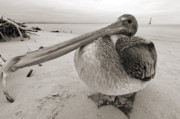 Beach. Black And White Posters - Brown Pelican Folly Beach Morris Island Lighthouse Close Up Poster by Dustin K Ryan