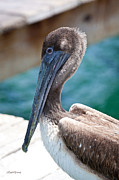 Brown Pelican Friend Print by Michelle Wiarda