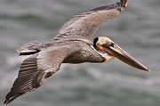 Mar1013 Framed Prints - Brown Pelican  In Breeding Plumage Framed Print by Sebastian Kennerknecht