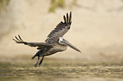 Adult Plumage Framed Prints - Brown Pelican Landing In Lagoon Santa Framed Print by Sebastian Kennerknecht