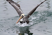 Wing Tong Framed Prints - Brown Pelican Landing On Water . 7D8372 Framed Print by Wingsdomain Art and Photography
