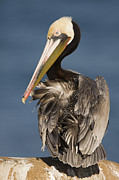 Adult Plumage Framed Prints - Brown Pelican Preening La Jolla Framed Print by Sebastian Kennerknecht