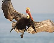 Brown Pelican Prints - Brown Pelican Putting On The Brakes Print by Max Allen