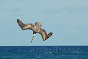 Feeding Pyrography - Brown Pelican by Richard Nickson