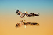 Dusk Prints - Brown Pelican Print by Susan Gary