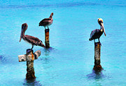 Sea Birds Posters - Brown Pelicans in Aruba Poster by Thomas R Fletcher