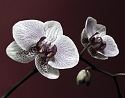 Flower Still Life Prints Posters - Brown Purple White Orchids Flower Macro - Flower Photograph Poster by Artecco Fine Art Photography - Photograph by Nadja Drieling