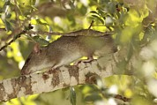 Terrestrial Prints - Brown Rat (rattus Norvegicus) On A Tree Print by Photostock-israel