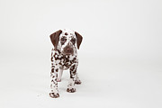 Dog Walking Posters - Brown-spotted Dalmatian Puppy Poster by Debra Bardowicks